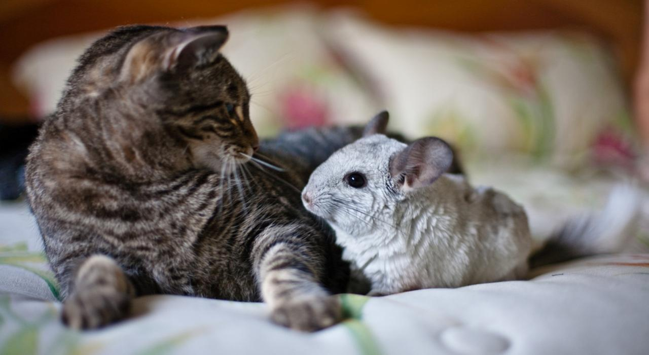 Братья наши меньшие - кошки и шиншиллы